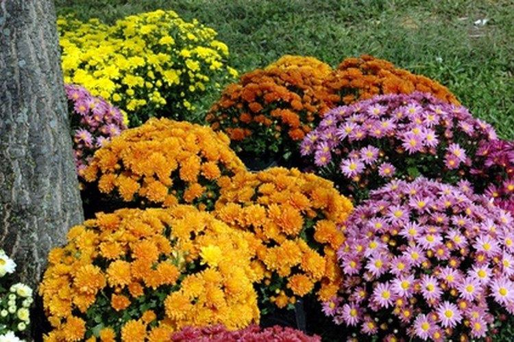 Los crisantemos son flores, cuyos colores son intensos y de una gran variedad.