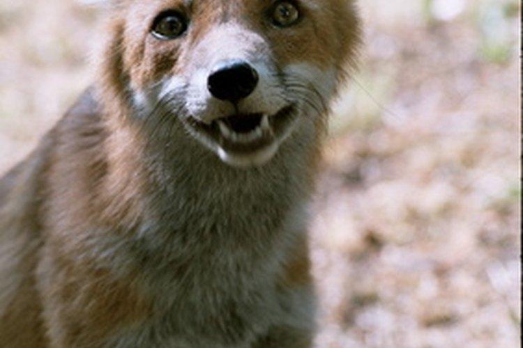Presa del foxhound.