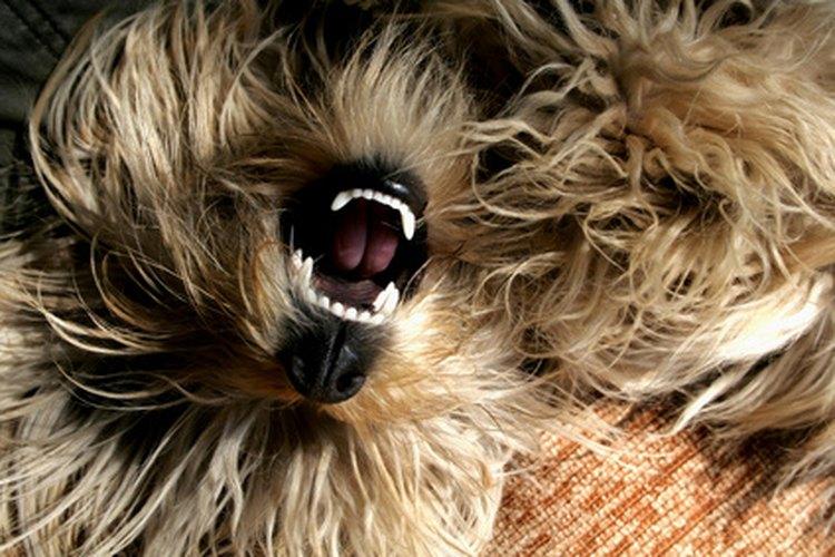 Los cachorros de raza con muchos dientes corren el riesgo de sufrir de enfermedad periodontal.
