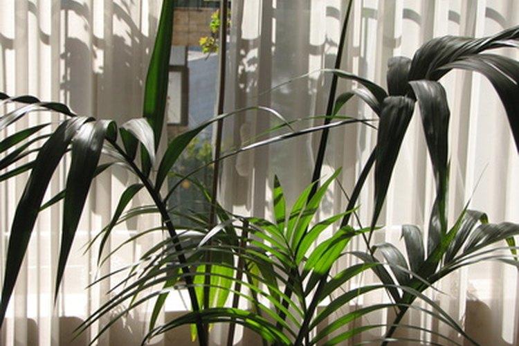 Una palmera kentia joven con el tiempo forma un tronco angosto.