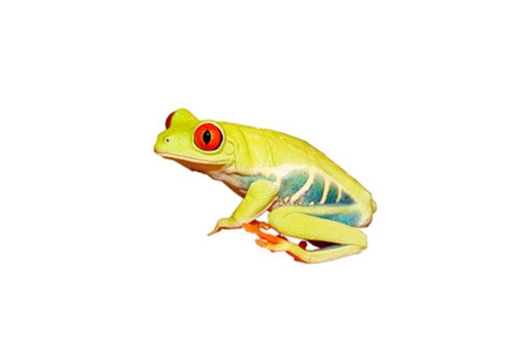 Los renacuajos son anfibios bebés.