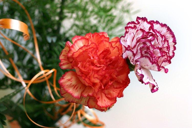 Los claveles están disponibles en una amplia variedad de colores.
