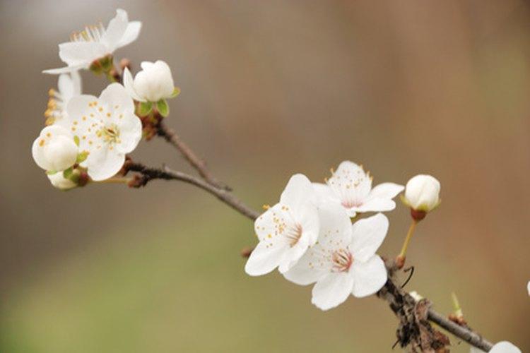 A veces más frutas crecen cuando hay menos flores, mientras que menos frutas se desarrollan cuando hay más azahares.