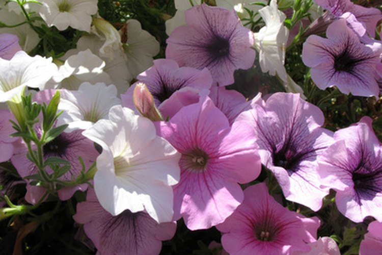 A menudo se usan flores para crear fragancias.