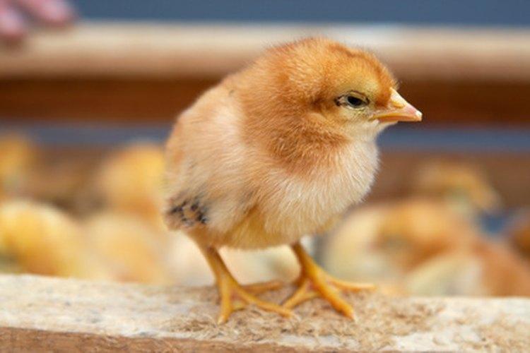 El nacimiento de pollitos es un proceso asombroso.
