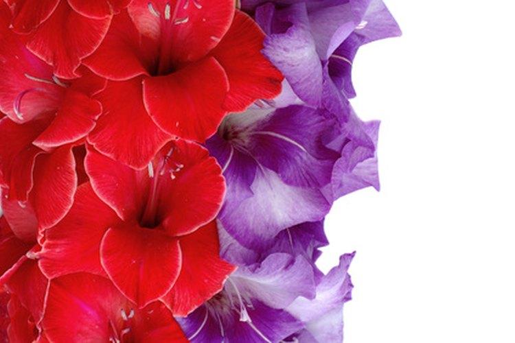 La gladiola es una flor hermosa que viene en un arcoiris de colores.