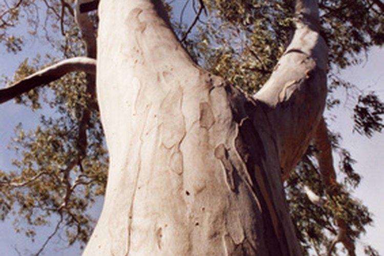 El aceite esencial de eucalipto tiene la capacidad de matar los ácaros en sábanas y ropa de cama.