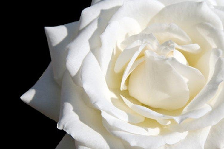 Las rosas blancas son un símbolo de pureza.