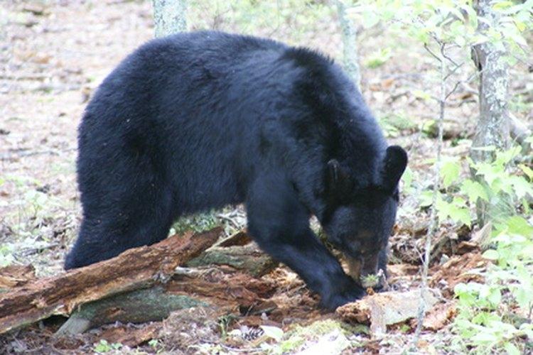 Los osos negros son omnívoros.