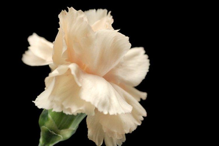 Un simple clavel blanco tiene significados positivos.