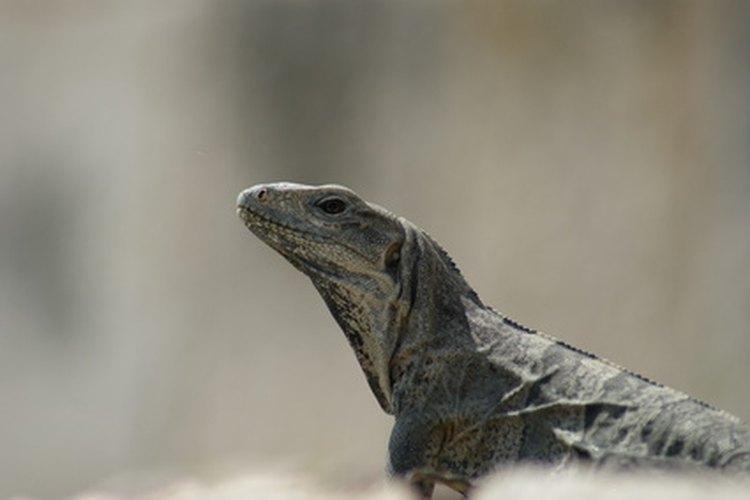 Los reptiles a menudo toman sol para mantenerse calientes.