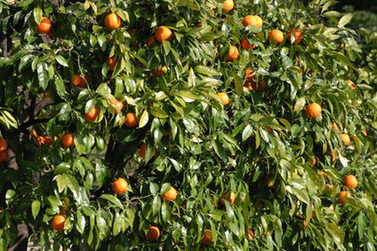 El riego es primordial para la producción de frutos.