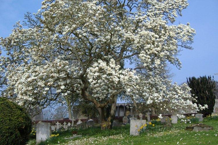 Un árbol de magnolia florecido