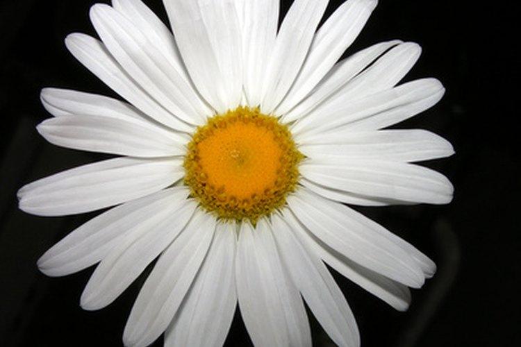 Un aditivo natural, la manzanilla mejora el aspecto y la salud del cabello.