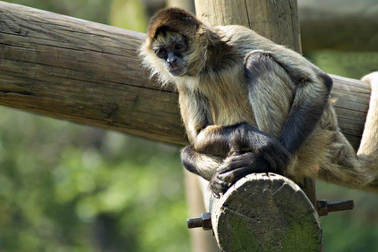 Cómo paren los monos.