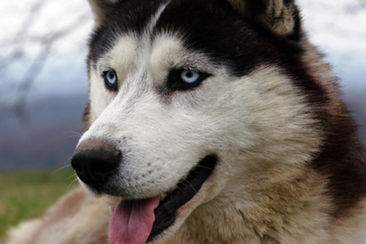 Un buen alimento puede mejorar la calidad de vida de tu husky siberiano.