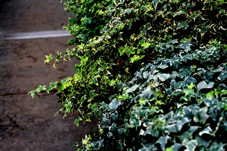 La hiedra inglesa tiene follaje verde oscuro, gris plateado.
