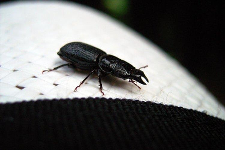 Los escarabajos comunes de tierra negra son beneficiosos para casas y jardines.