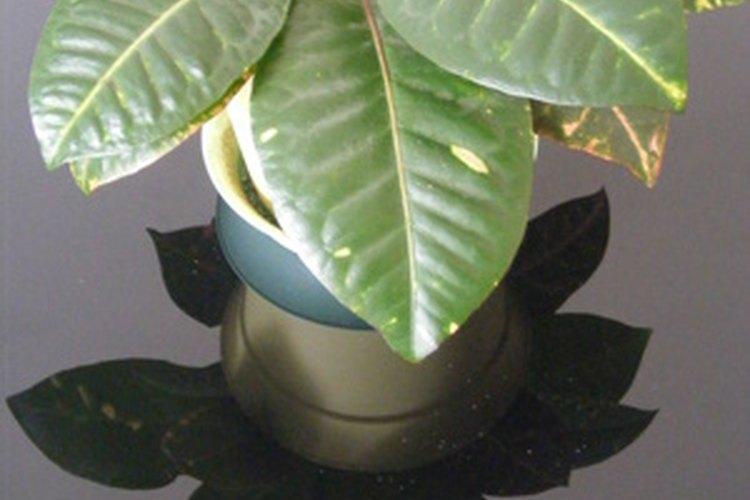 Las hojas son el camino a lo largo del cual una planta sana obtiene su alimento.