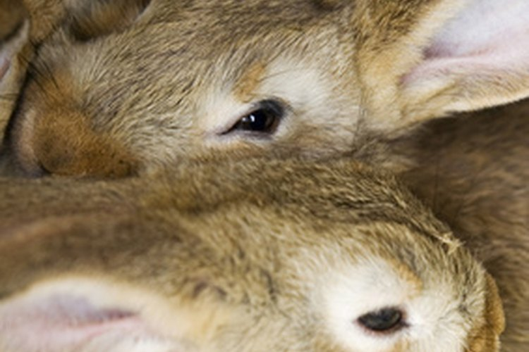 Señales de embarazo en conejas.