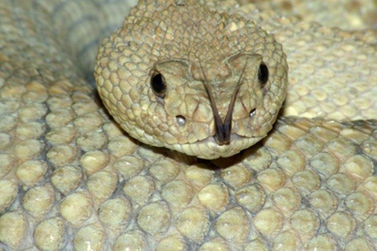 Las víboras son serpientes venenosas con órganos especiales para la detección del calor.