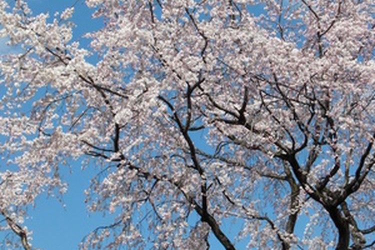 En los años cálidos, los árboles florecerán antes.