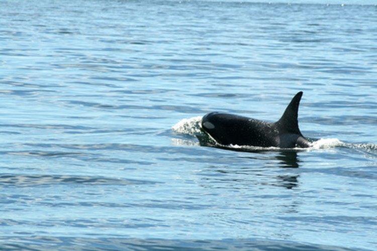Los colores característicos de la ballena asesina, el blanco y el negro, se reconocen con facilidad.