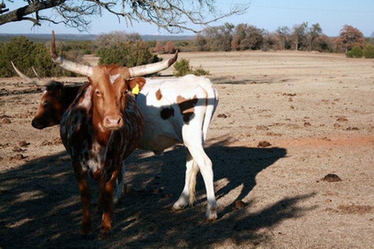 El ganado Longhorn es la única raza antigua de ganado vacuno que tiene sus raíces en Estados Unidos.