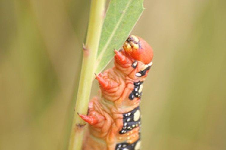 Las orugas pueden comerse casi todas las hojas de una planta mientras crecen.