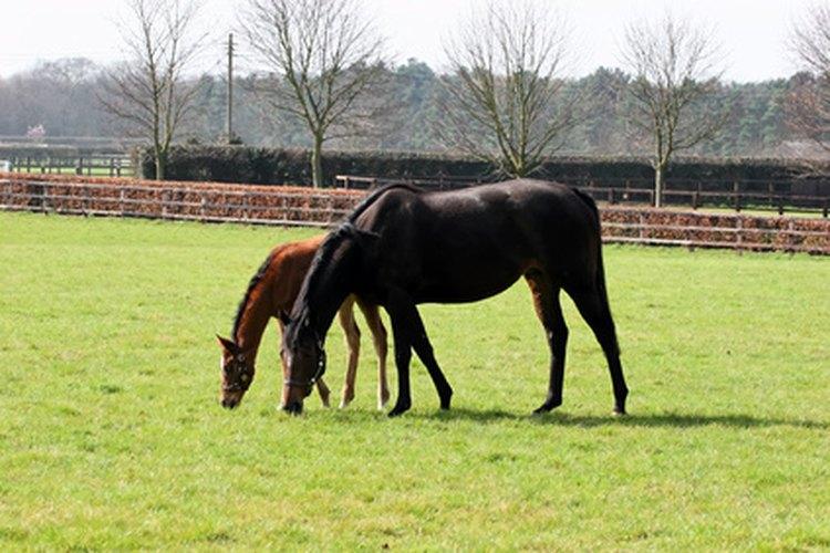 La mayoría de los equinos presentan signos de embarazo aproximadamente dos o tres meses antes del nacimiento.