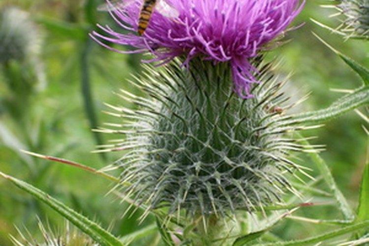 La flor nacional de Escocia, el cardo, no es la mejor flor para una cita.