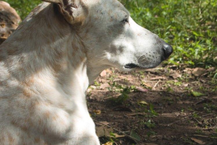 Si tu perro cojea, es probable que esté lesionado.