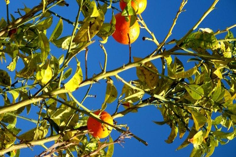Los naranjos maduros alcanzan unos 25 pies (7,6 m) de altura.