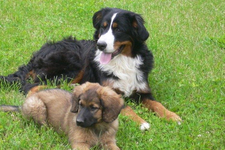 Los perros más pequeños por lo general llegan a la pubertad más rápido.