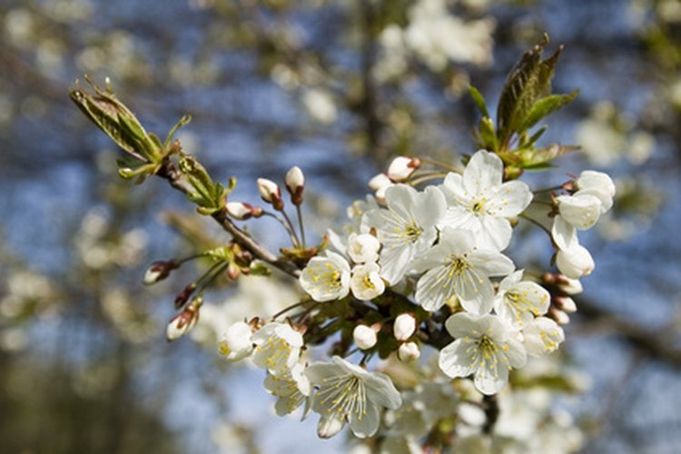 Los cerezos tienden a crecer y llegar a la madurez rápido.