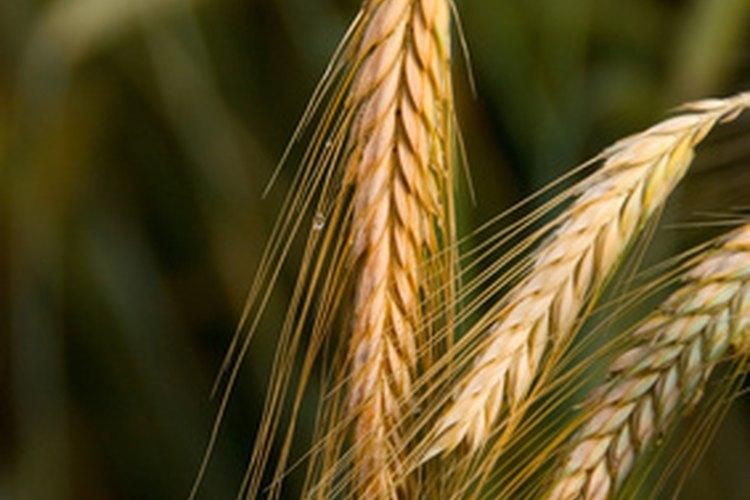 Los cereales son una importante fuente de fibra