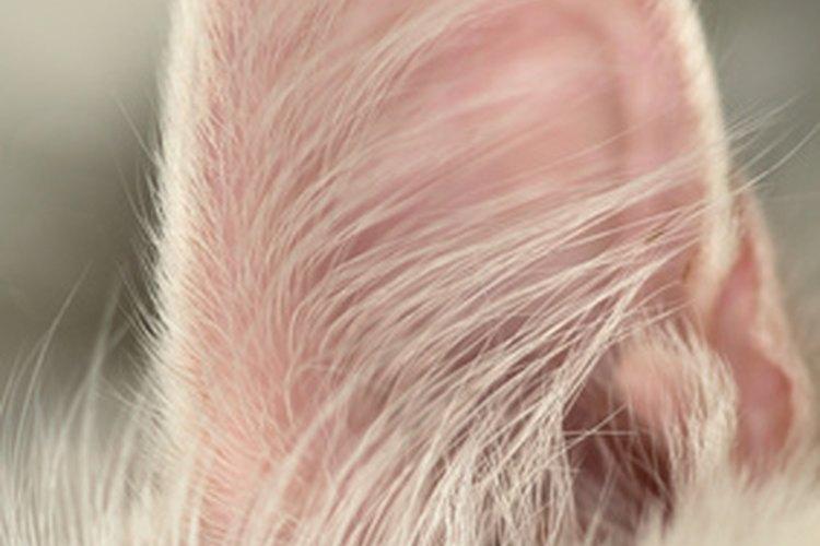 Medicar el oído de un gato puede ser la parte más difícil para erradicar los ácaros en el oído.