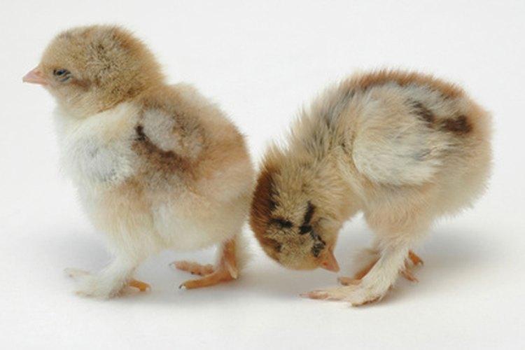 La diarrea mata a los pollitos debido a la obstrucción de la cloaca.