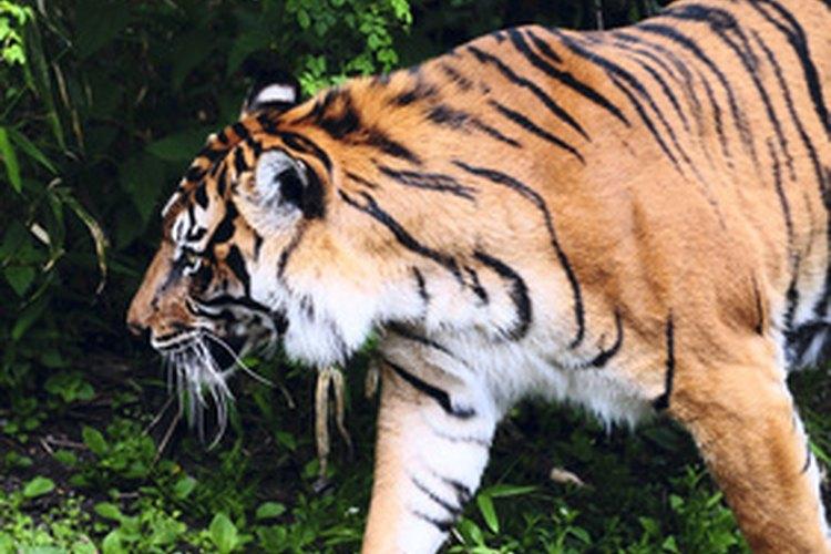 El majestuoso tigre de Bengala de la India se ve amenazado por la actividad humana.