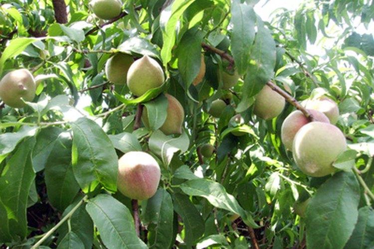 Una poda adecuada del árbol de melocotón en su primer año producirá muchos años de frutas.