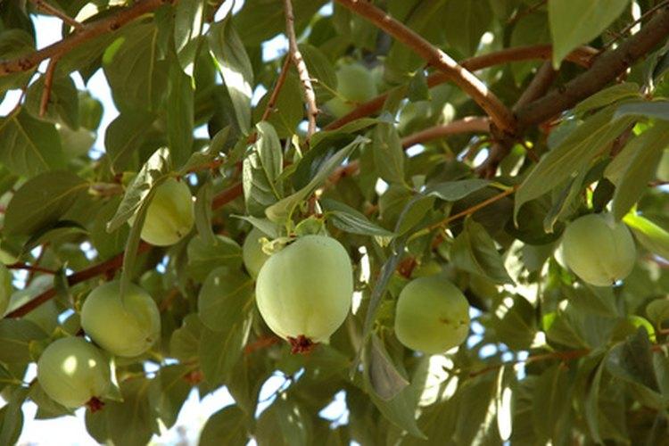 Cu nto debe regarse un rbol frutal for Cuanto mide un arbol