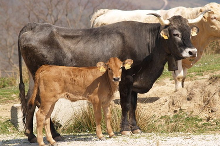 Cómo distinguir las distintas razas de ganado.