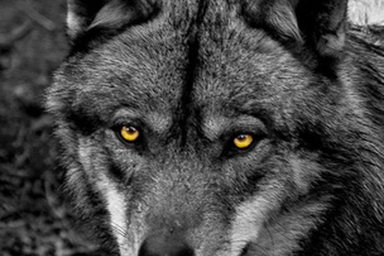 Los lobos han sido cazados por deporte y por sus pieles.