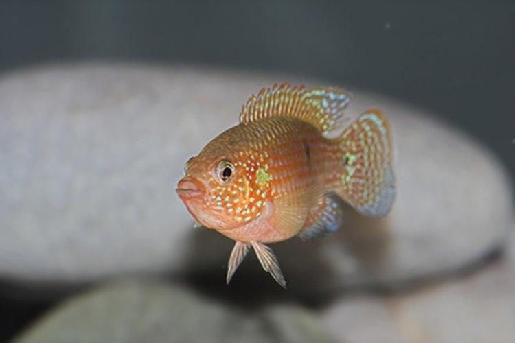 Un pequeño pez tropical se para ya que nada en agua salada.