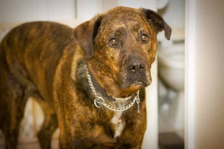 Hay tratamientos disponibles para tu perro castrado con tumor del adenoma perianal.