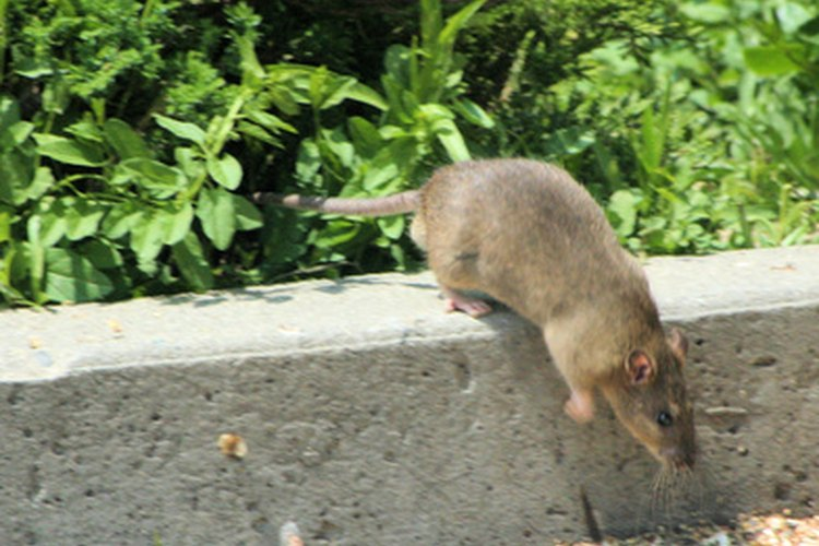 Las ratas invaden las casas y traen enfermedades al hogar.