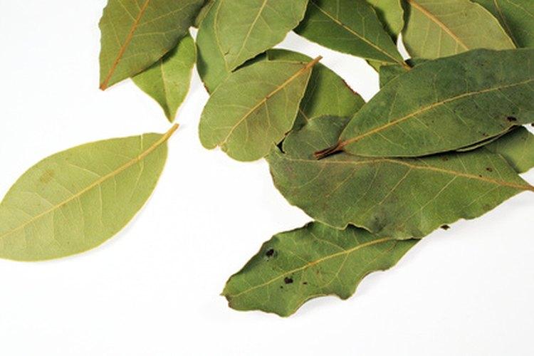 La putrefacción de la raíz en laureles ingleses enanos, puede hacer que el follaje brillante y verde de repente se ponga amarillo.
