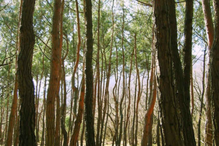 Los pinos proporcionan un rico hábitat para la fauna silvestre.
