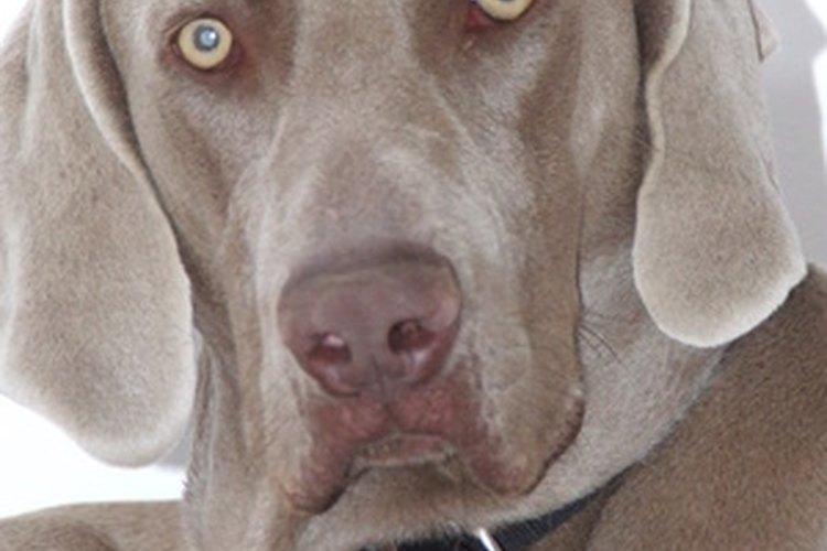 Los cachorros braco de Weimar crecen para convertirse en perros saludables y felices si reciben el cuidado apropiado.