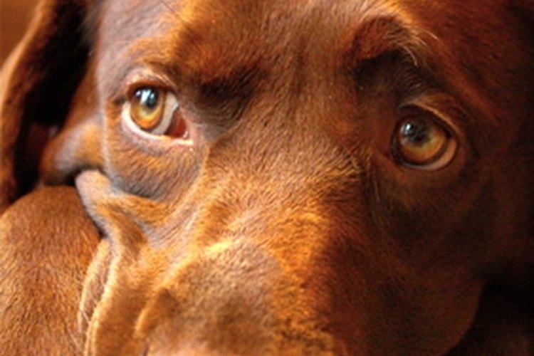 El índice de crecimiento de un cachorro depende en su mayoría de la genética.